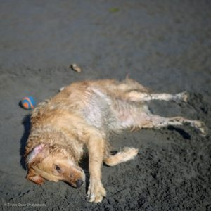 Golden Retriever Lucy Rolling In the Sand at White Rock Beach, British Columbia_ Dog Wash_Dog Shower