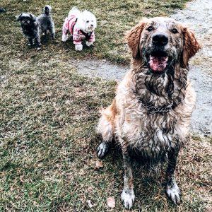 Muddy Puppy Golden Retriever Lucy